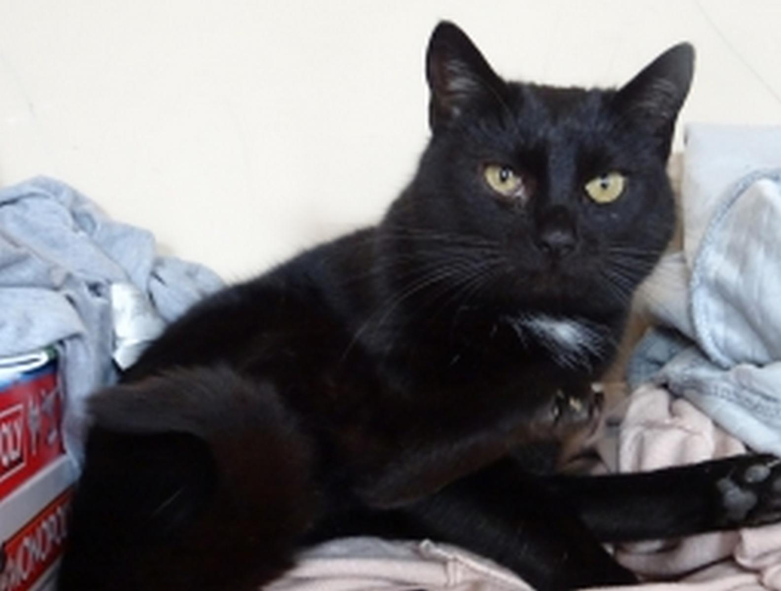Czarna kotka